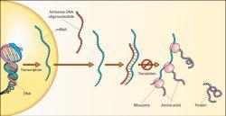 800px-antisense_dna_oligonucleotide.jpg