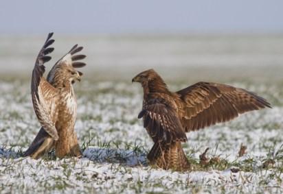 Fighting Birds
