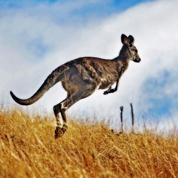 ss-kangaroo-thumb