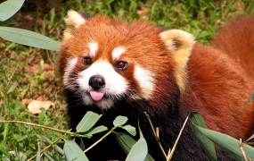 flickr-red-panda-firefox