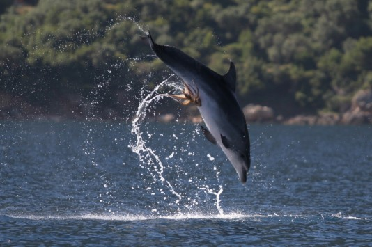 Microsoft is struggling with its competition like this dolphin trying to dislodge an awkwardly-placed octopus