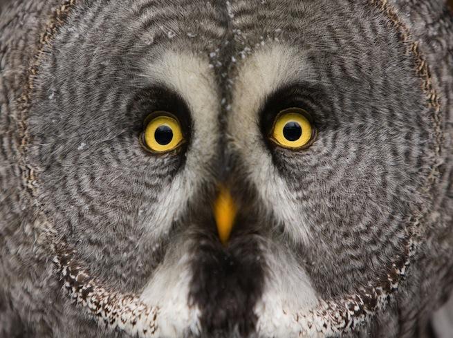 big eyed owl twitter