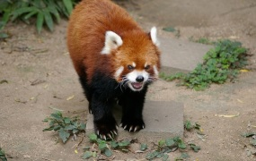 angry Firefox