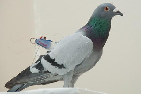 Pigeon wearing a Cornell university bird backpack