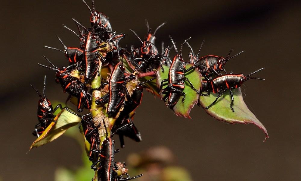 bug swarm