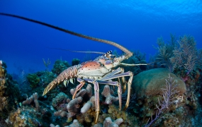 This Caribbean Spiny lobster is not 400 pounds. But it is adorable.