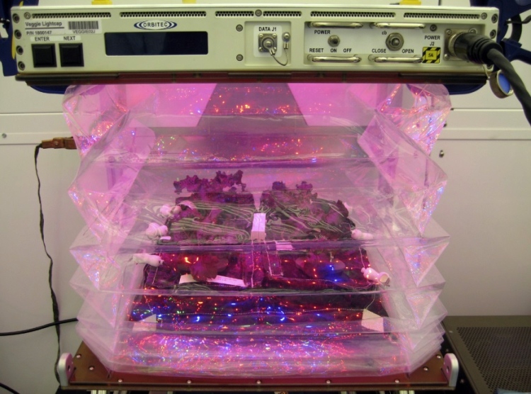 Outredgeous red romaine lettuce plants grow inside the bellows of a prototype Veggie flight pillow.