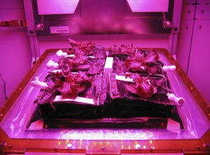Red romaine lettuce plants grow inside in a prototype Veggie flight pillow.