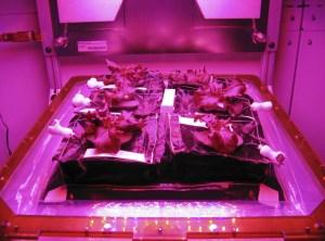 Red romaine lettuce plants grow inside in a prototype Veggie flight pillow.