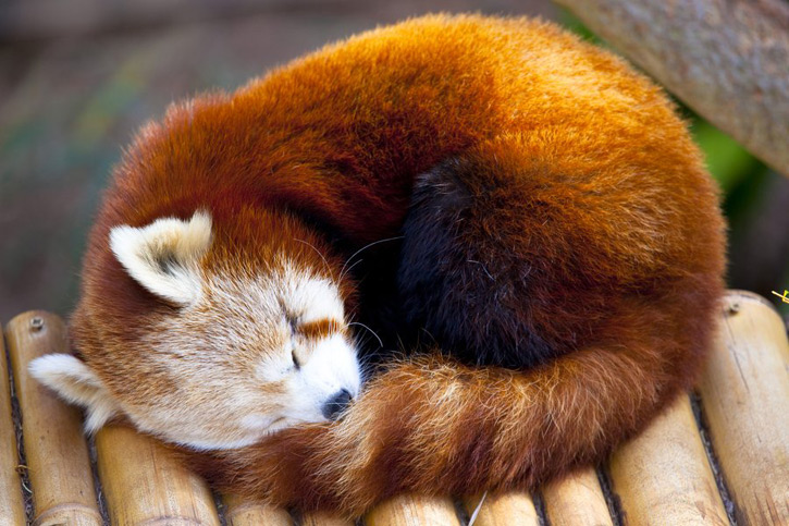 """A sleeping red panda, also known as the """"firefox."""""""