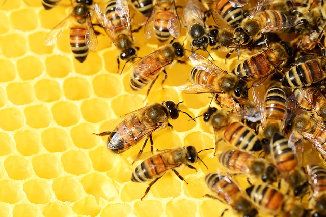 honey-bees-326337_640