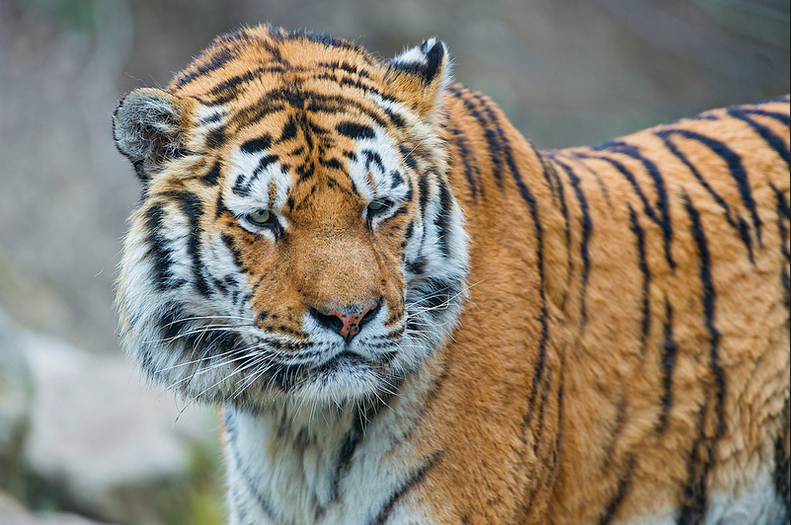Magic says it can deliver just about anything people request using its text-message based service. Including a tiger.
