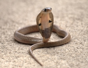 Indian cobra.