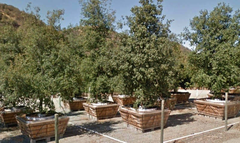 Apple Campus 2 trees being grown at the Valley Crest Nursery in Sunol.