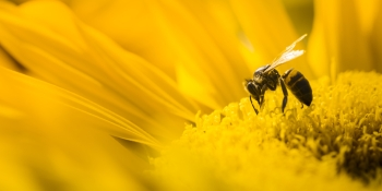 Robotic bees could take the sting out of Colony Collapse Disorder