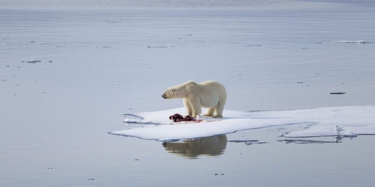 The future is looking more and more bleak for the wildlife of the Arctic, especially the polar bears. These bears rely on the sea ice to hunt their favorite prey, seals, and this large male bear seen here, seems to be looking across the Arctic in disbelief as his world disappears beneath him.