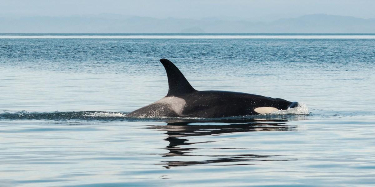 Orca aka killer whale