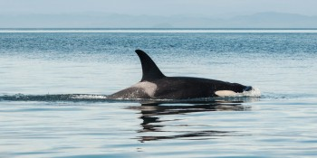 Google's AI powers real-time orca tracking in Vancouver Bay