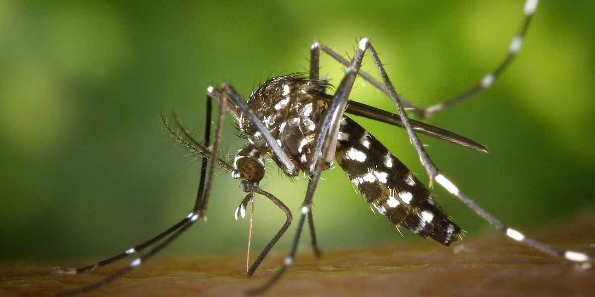 The Asian Tiger mosquito.