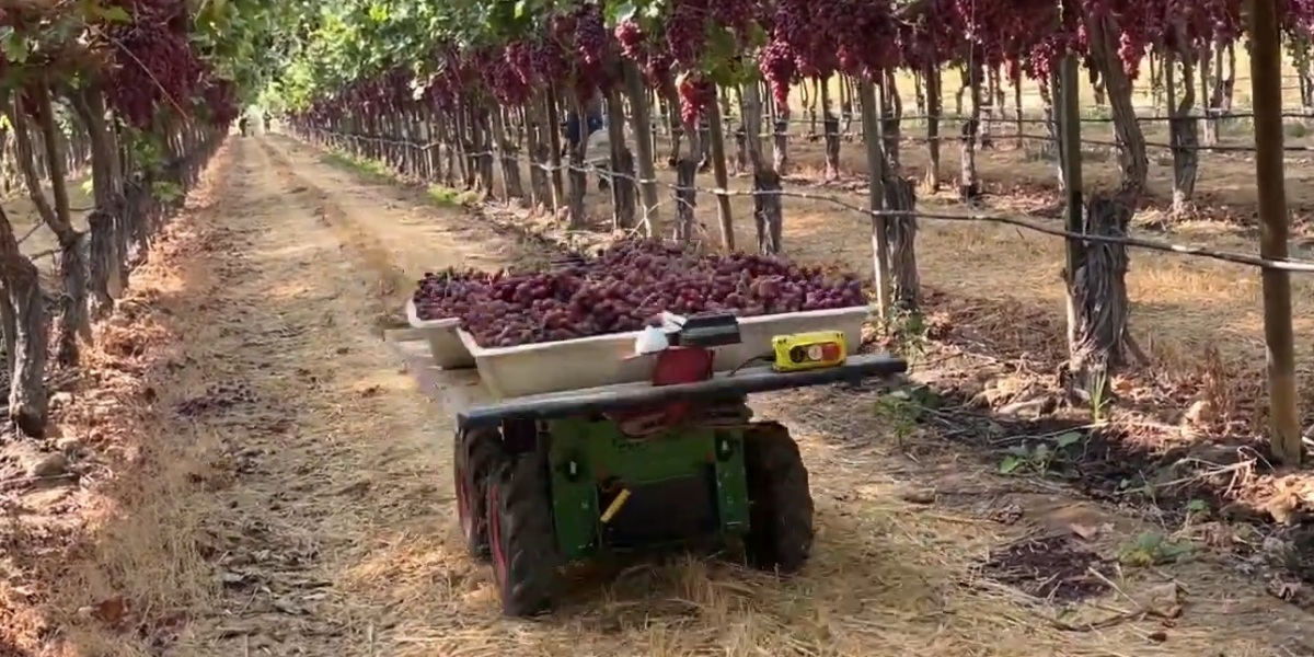 A Burro Collaborative Farm Robot autonomously transports full boxes of grapes from the picking areas to the warehouse.